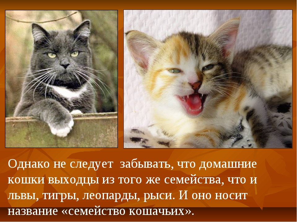 Однако не следует забывать, что домашние кошки выходцы из того же семейства,...