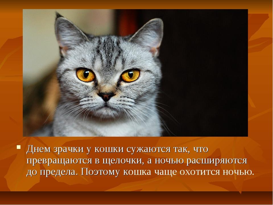 Днем зрачки у кошки сужаются так, что превращаются в щелочки, а ночью расширя...