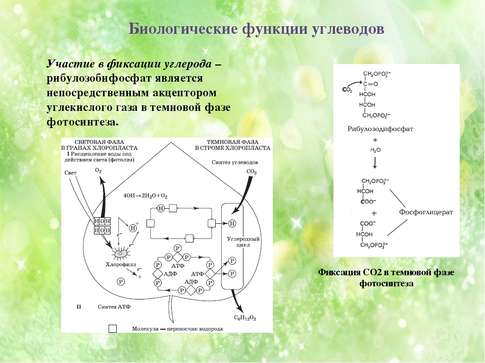 Фиксация СО2 в темновой фазе фотосинтеза Участие в фиксации углерода – рибуло...
