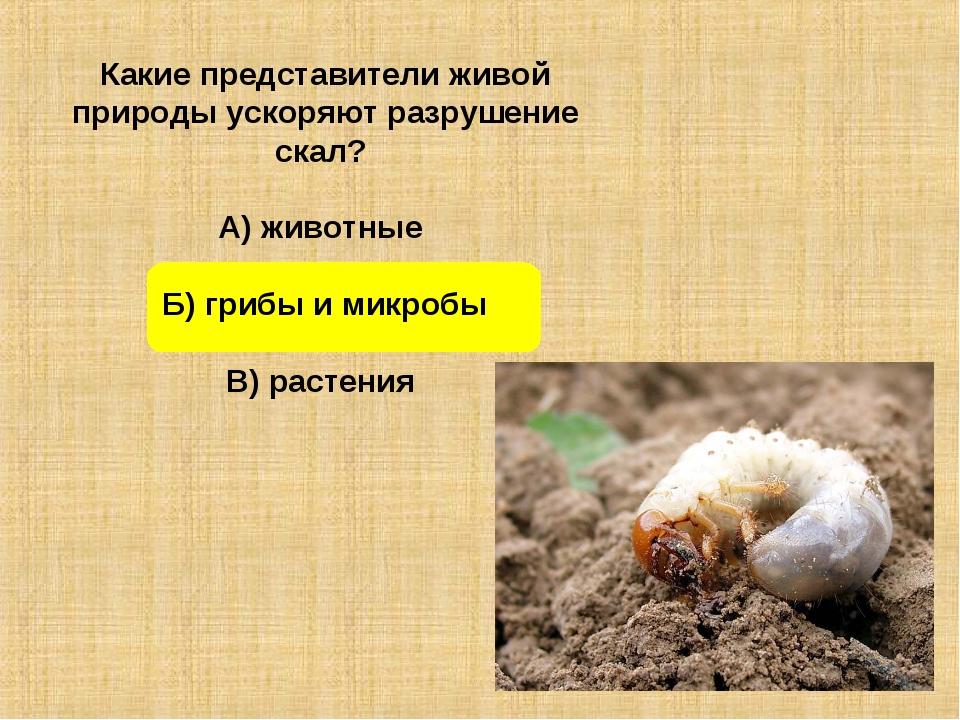 Какие представители живой природы ускоряют разрушение скал? А) животные Б) гр...