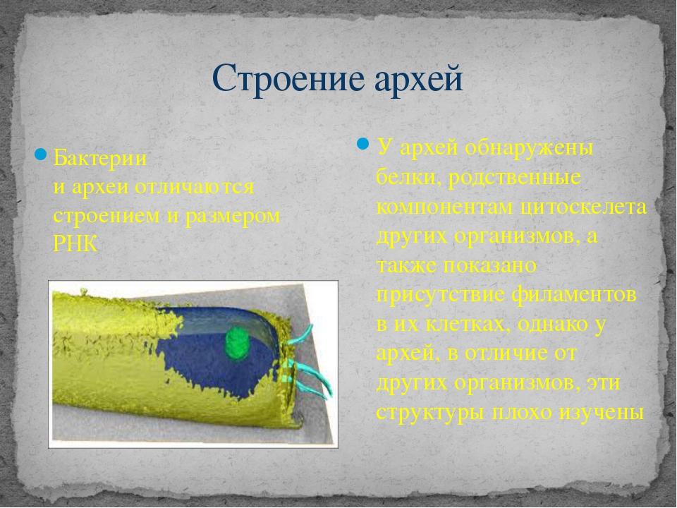 Строение архей Бактерии иархеиотличаются строением и размером РНК У архей о...