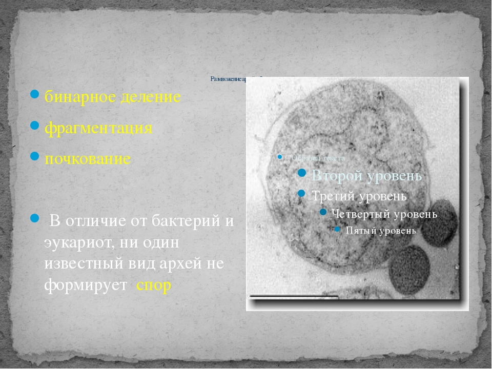 Размножение архей – бесполое: бинарное деление фрагментация почкование В от...