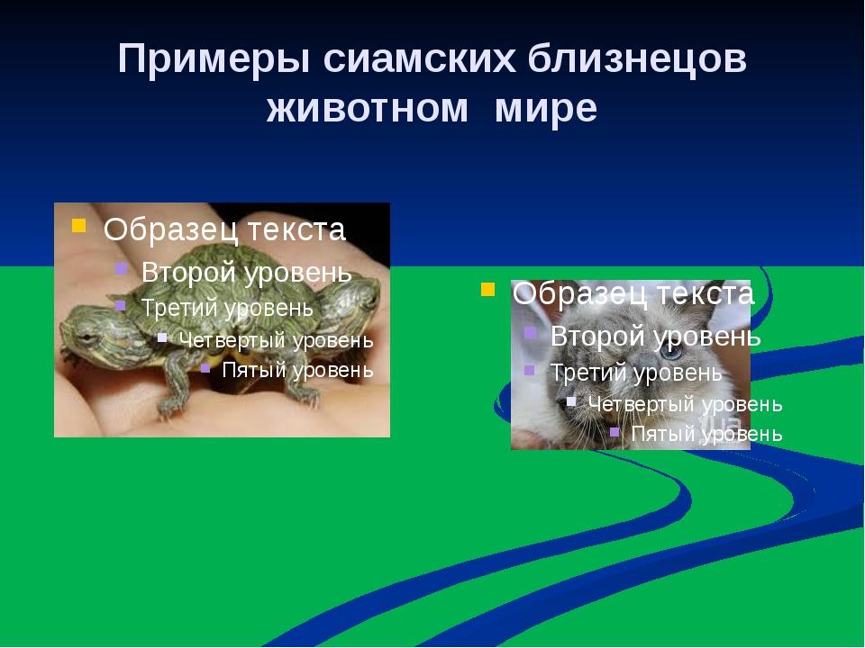 Примеры сиамских близнецов животном мире