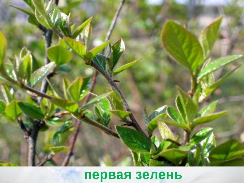 первая зелень