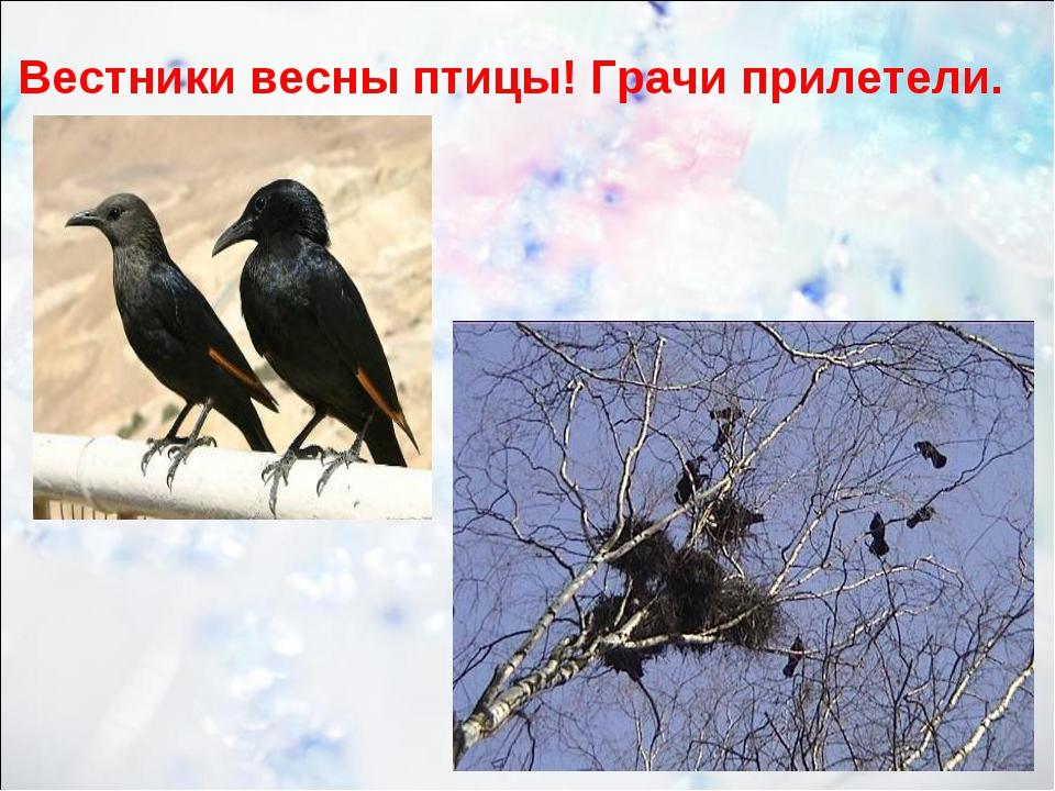 Вестники весны птицы! Грачи прилетели.