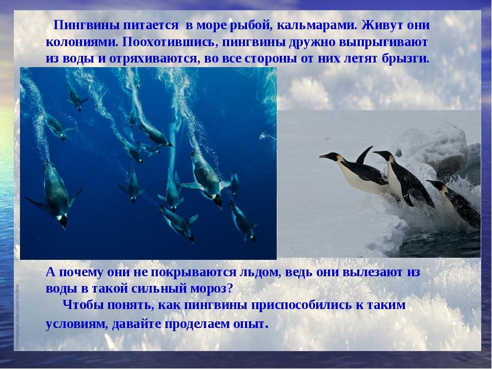 Пингвины питается в море рыбой, кальмарами. Живут они колониями. Поохотившис...