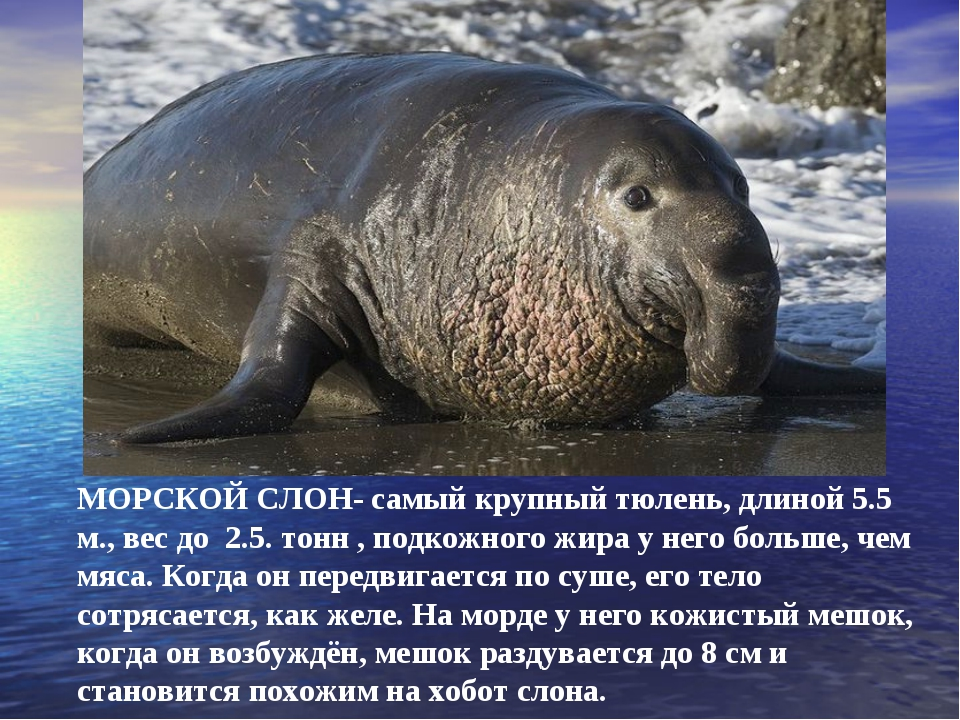МОРСКОЙ СЛОН- самый крупный тюлень, длиной 5.5 м., вес до 2.5. тонн , подкожн...