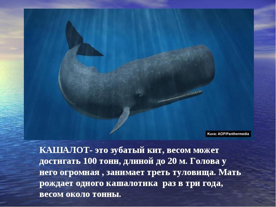 КАШАЛОТ- это зубатый кит, весом может достигать 100 тонн, длиной до 20 м. Гол...