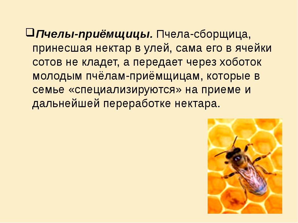 Пчелы-приёмщицы. Пчела-сборщица, принесшая нектар в улей, сама его в ячейки с...