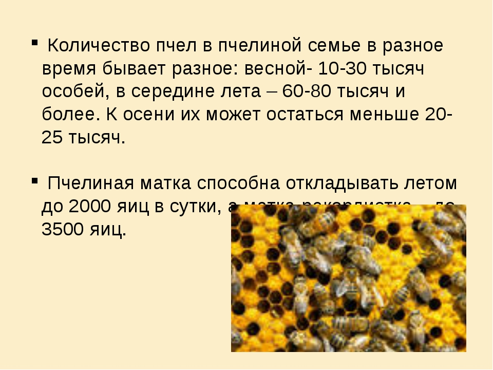 Количество пчел в пчелиной семье в разное время бывает разное: весной- 10-30...