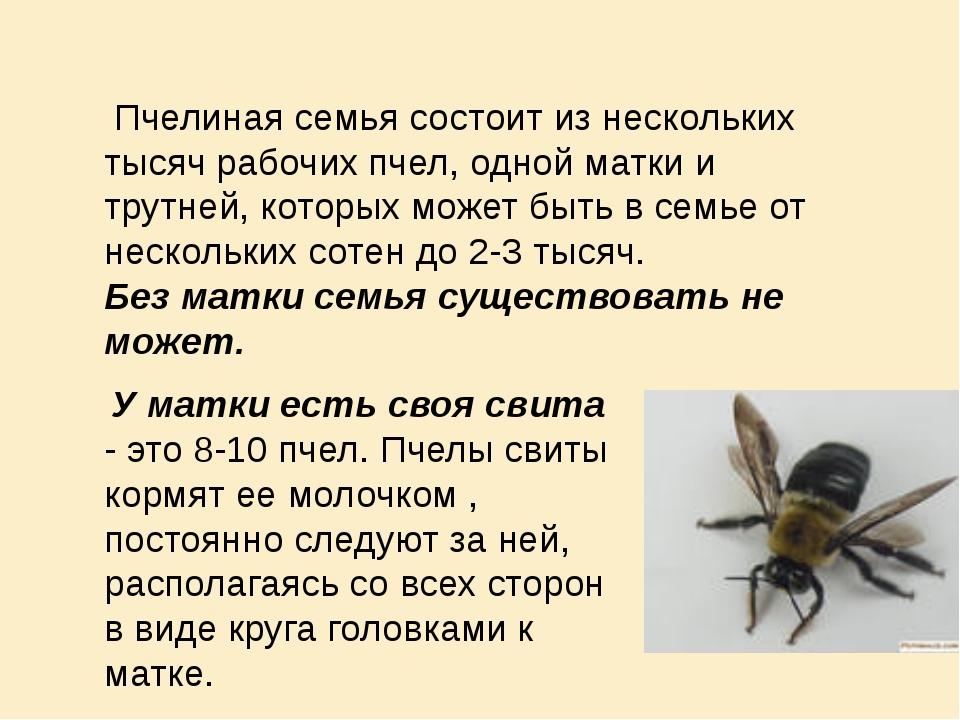 Пчелиная семья состоит из нескольких тысяч рабочих пчел, одной матки и трутн...
