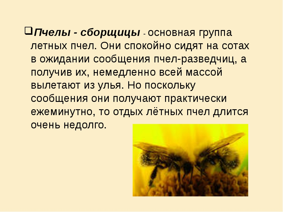 Пчелы - сборщицы - основная группа летных пчел. Они спокойно сидят на сотах в...