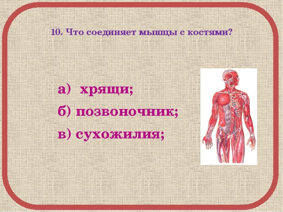 10. Что соединяет мышцы с костями? а) хрящи; б) позвоночник; в) сухожилия;