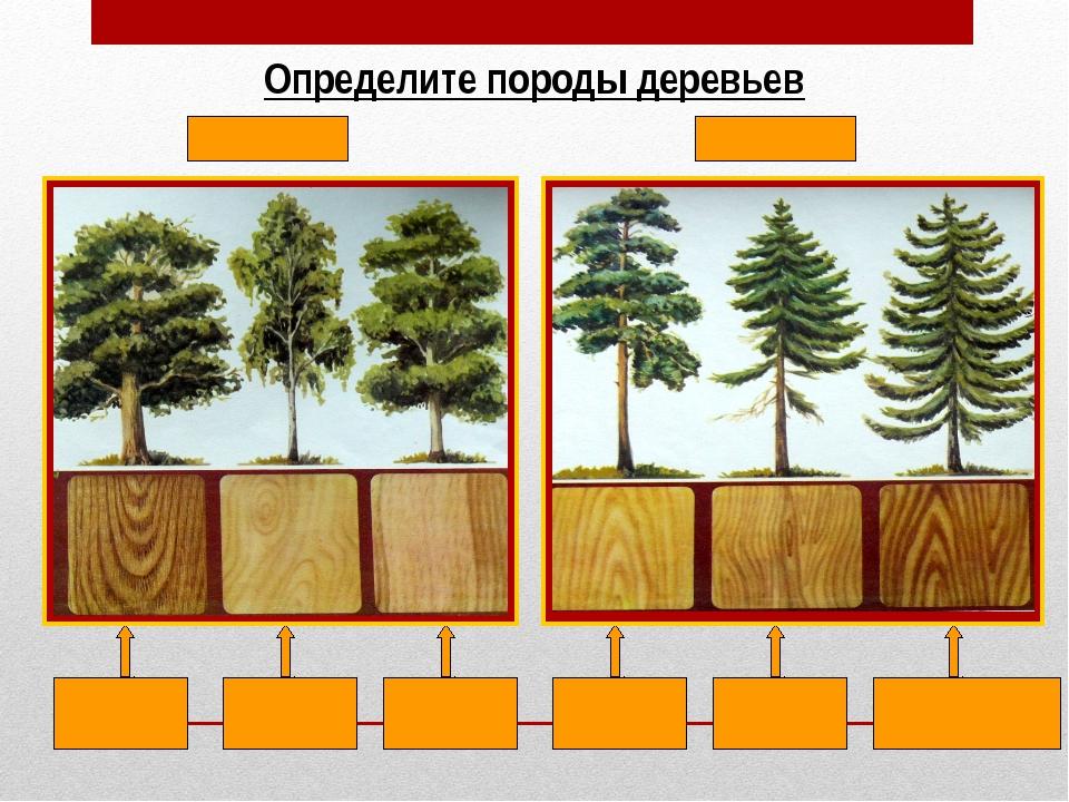 Определите породы деревьев