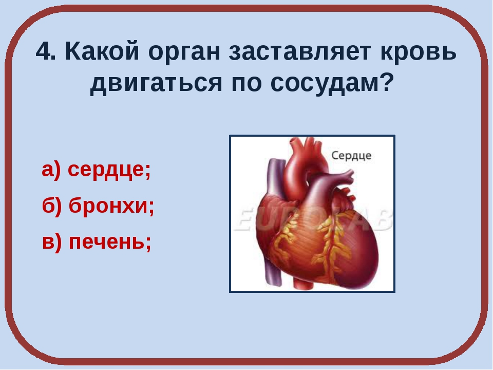 4. Какой орган заставляет кровь двигаться по сосудам? а) сердце; б) бронхи; в...