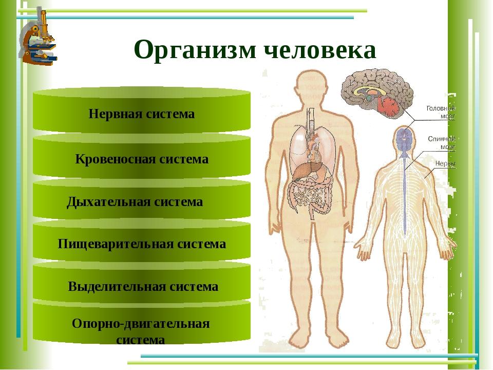 Text Text Пищеварительная система Кровеносная система Нервная система Организ...