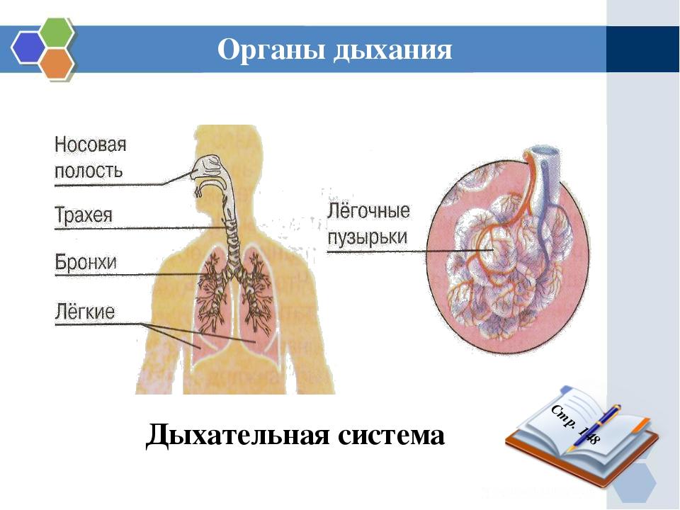 Дыхательная система Органы дыхания