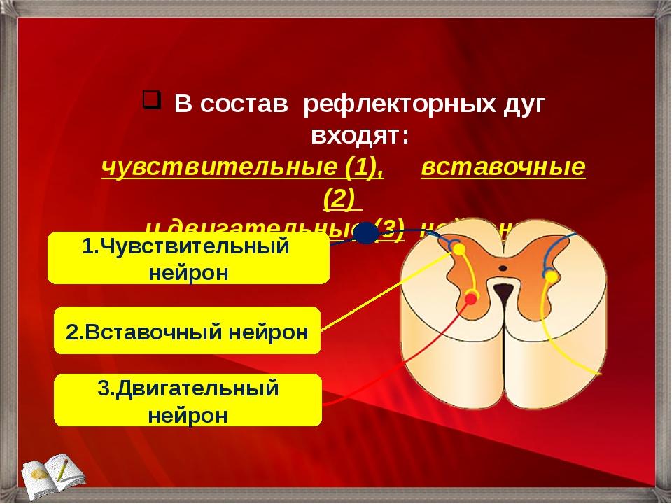 В состав рефлекторных дуг входят: чувствительные (1), вставочные (2) и двигат...