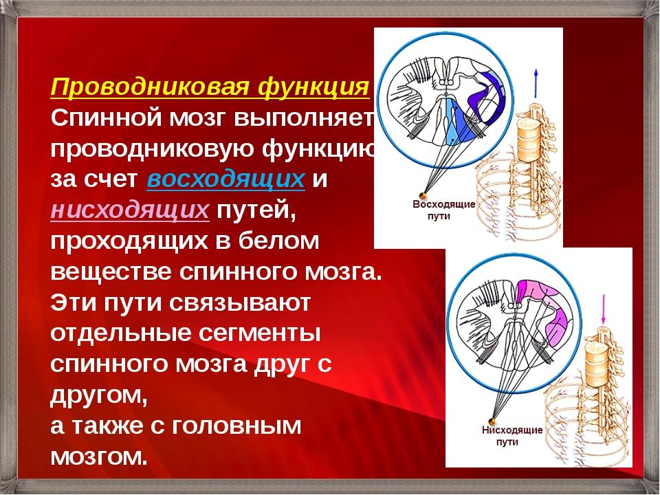 Проводниковая функция Спинной мозг выполняет проводниковую функцию за счет во...