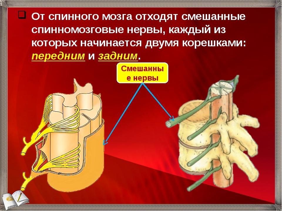 От спинного мозга отходят смешанные спинномозговые нервы, каждый из которых н...