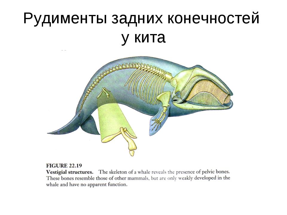 Рудименты задних конечностей у кита