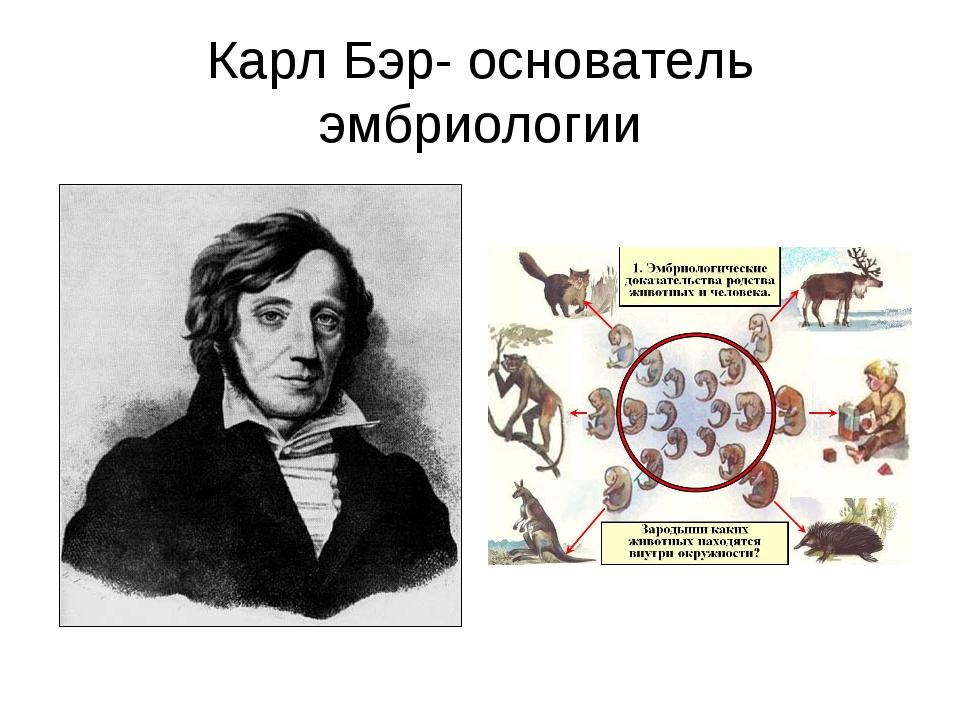 Карл Бэр- основатель эмбриологии