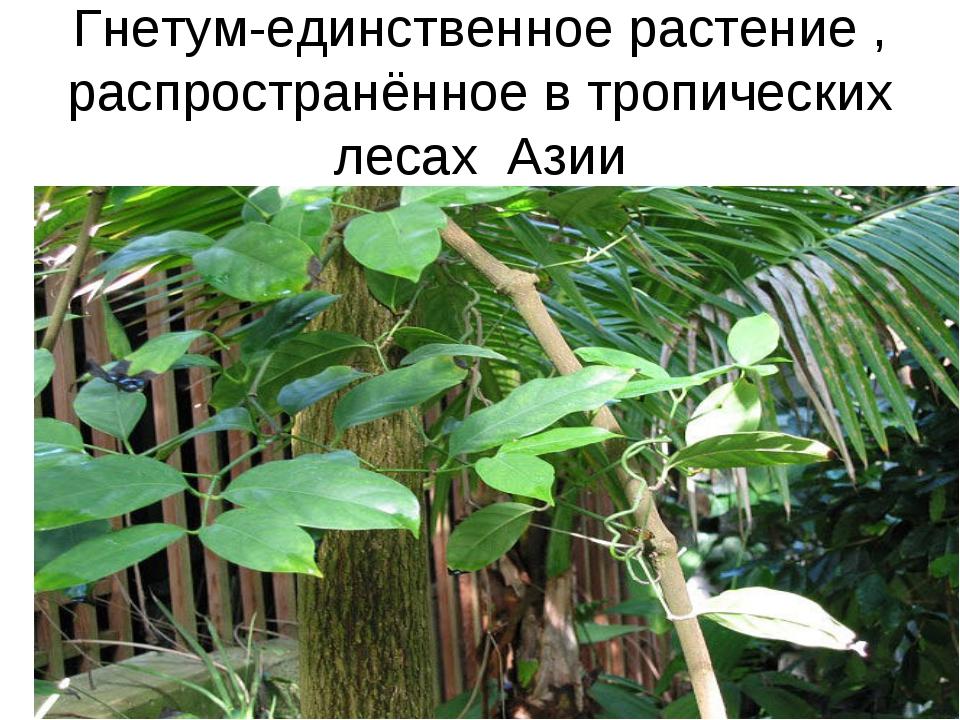 Гнетум-единственное растение , распространённое в тропических лесах Азии