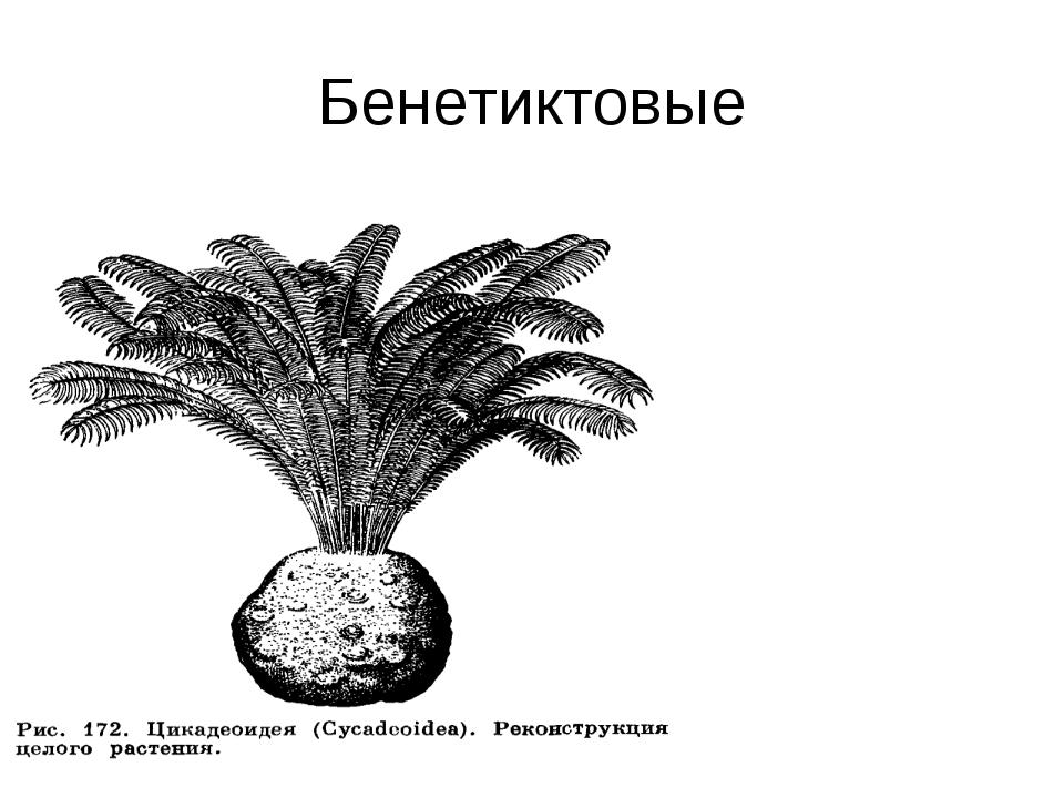 Бенетиктовые