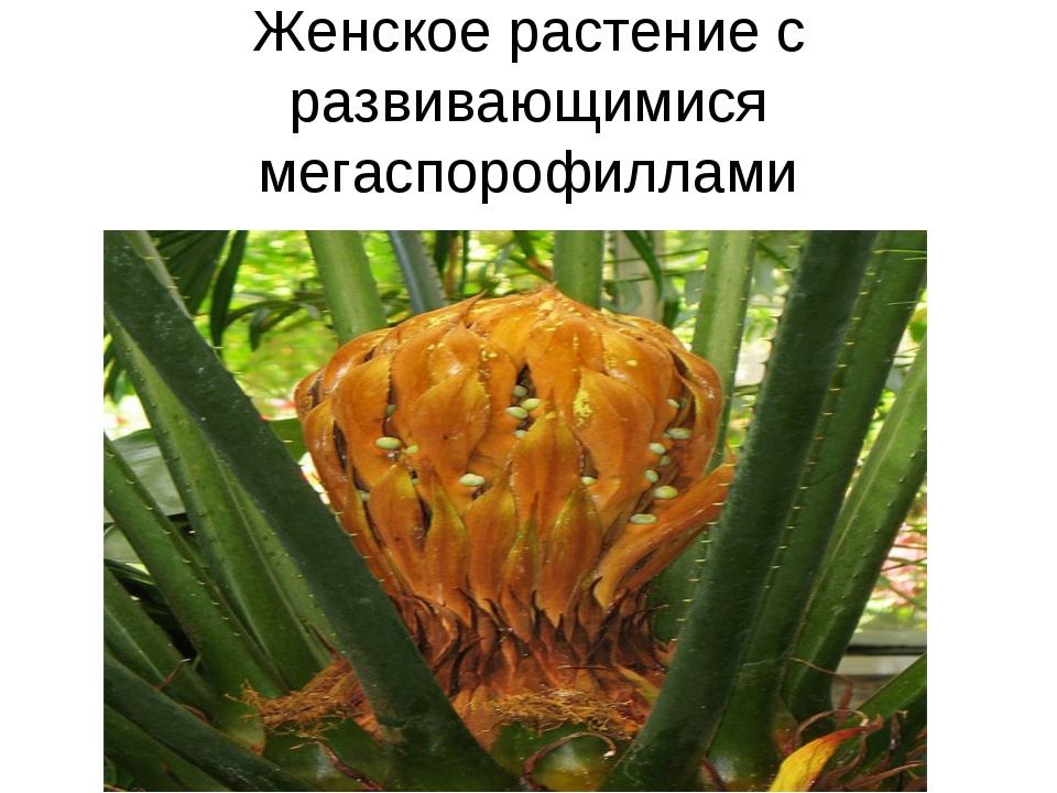 Женское растение с развивающимися мегаспорофиллами