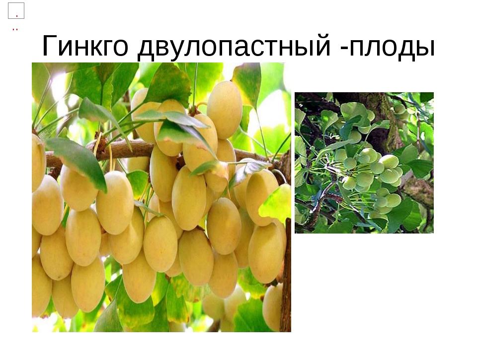 Гинкго двулопастный -плоды