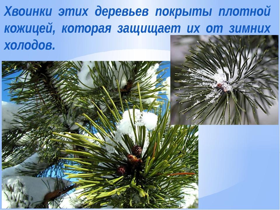 Хвоинки этих деревьев покрыты плотной кожицей, которая защищает их от зимних...