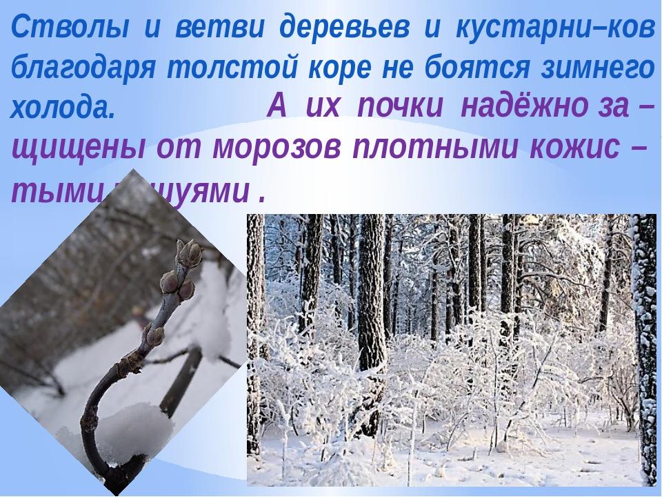 Стволы и ветви деревьев и кустарни–ков благодаря толстой коре не боятся зимне...