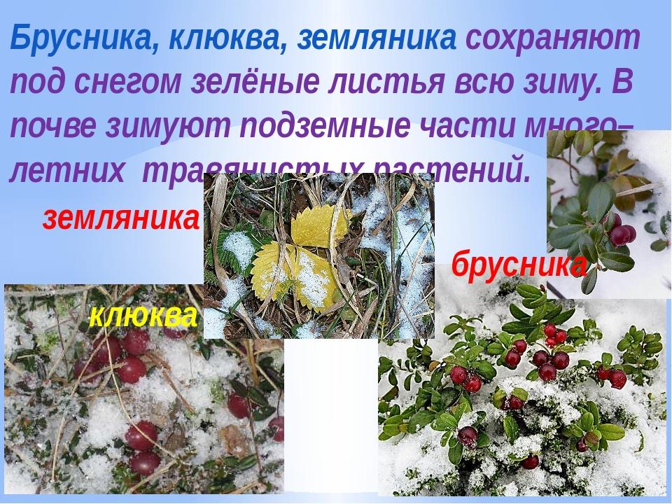 Брусника, клюква, земляника сохраняют под снегом зелёные листья всю зиму. В п...