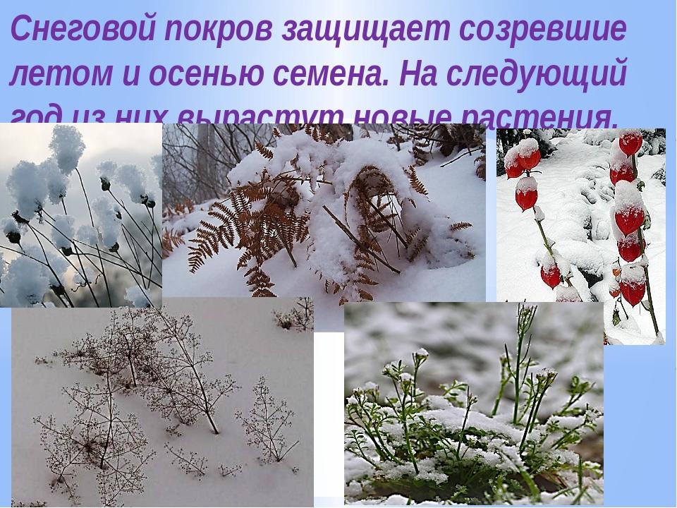 Снеговой покров защищает созревшие летом и осенью семена. На следующий год из...