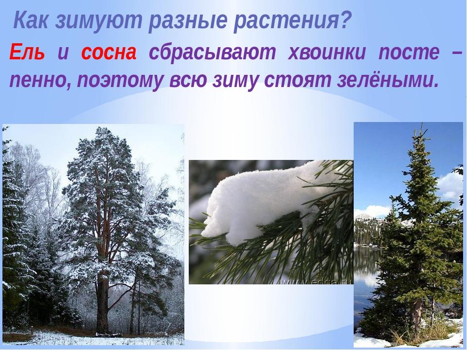 Как зимуют разные растения? Ель и сосна сбрасывают хвоинки посте –пенно, поэт...