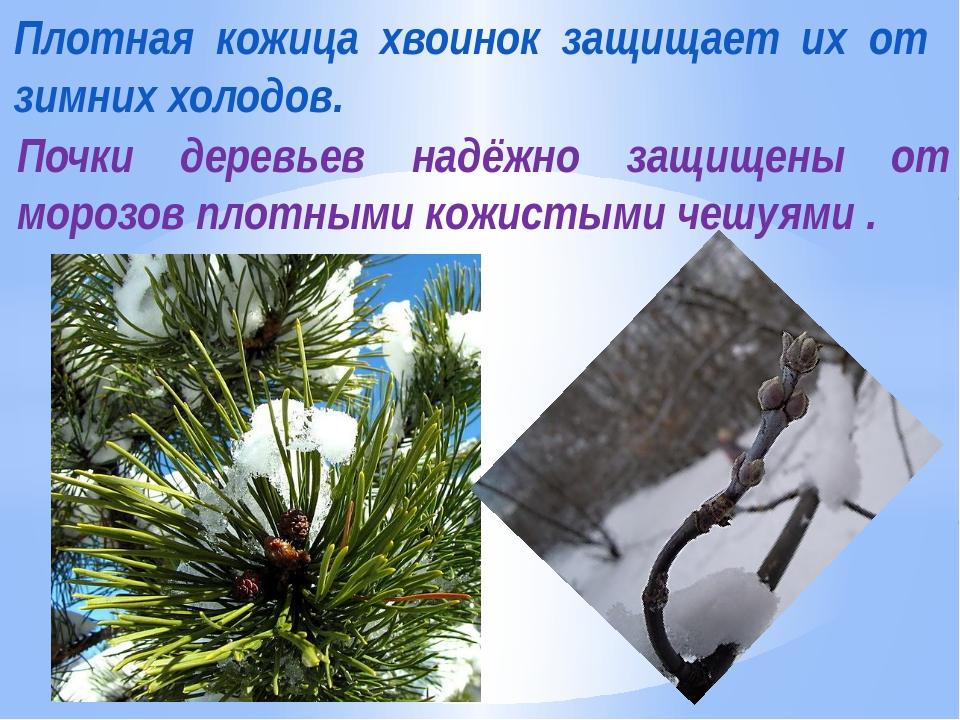 Плотная кожица хвоинок защищает их от зимних холодов. Почки деревьев надёжно...