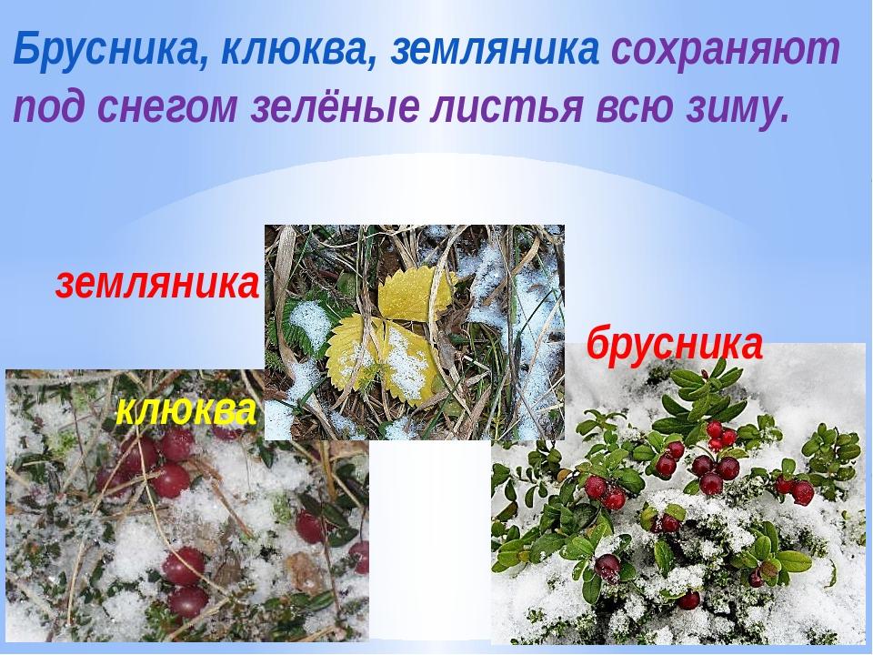 клюква брусника земляника Брусника, клюква, земляника сохраняют под снегом зе...