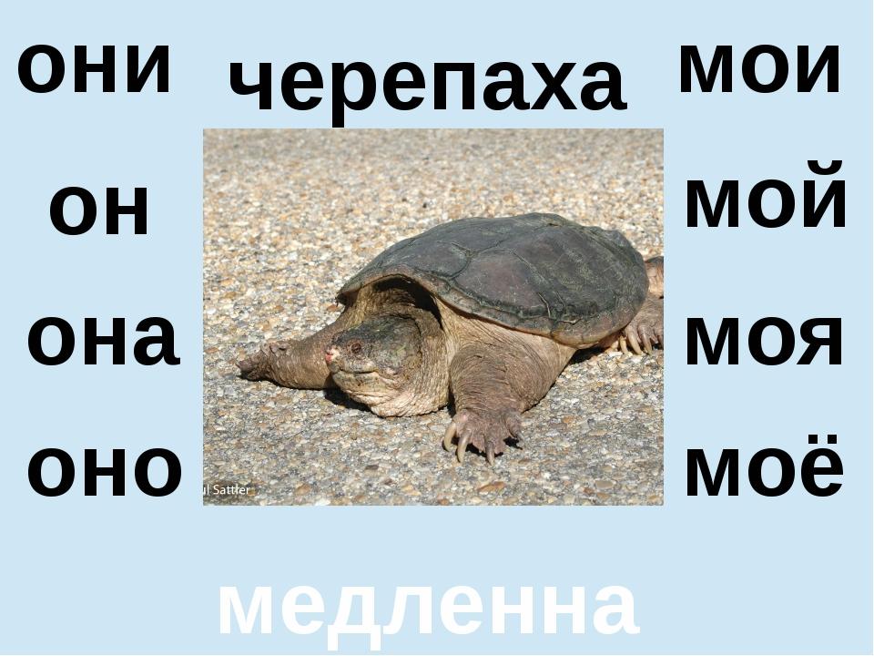черепаха медленная он оно мой моё они мои она моя