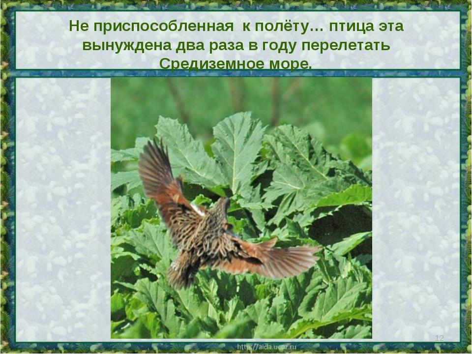 Не приспособленная к полёту… птица эта вынуждена два раза в году перелетать С...