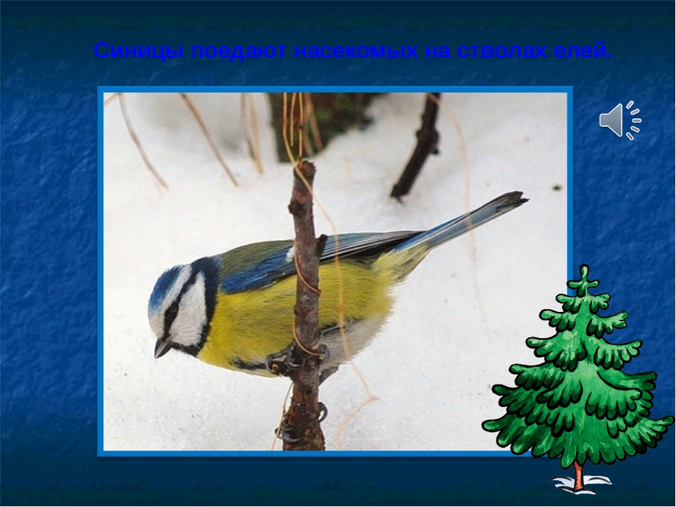 Синицы поедают насекомых на стволах елей.