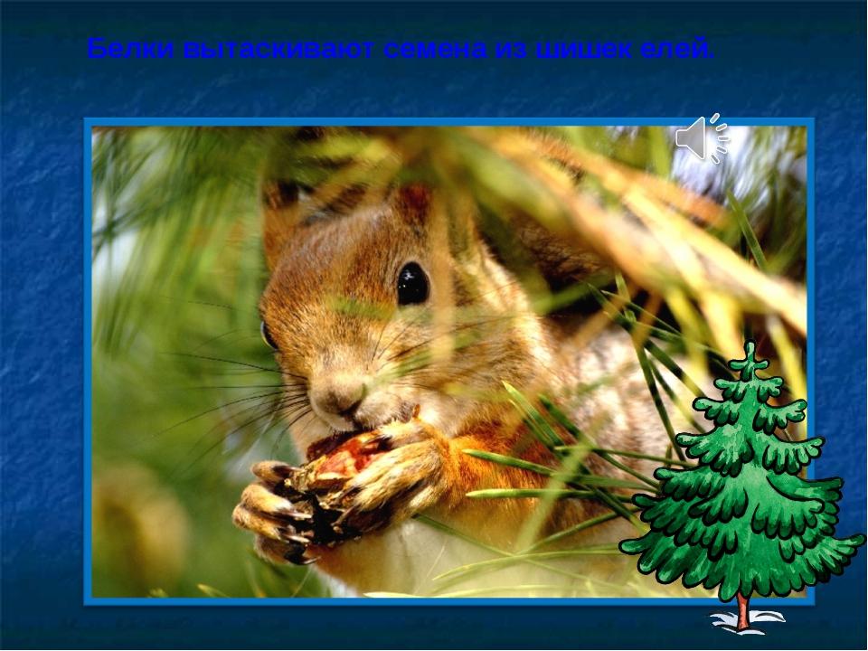 Белки вытаскивают семена из шишек елей.