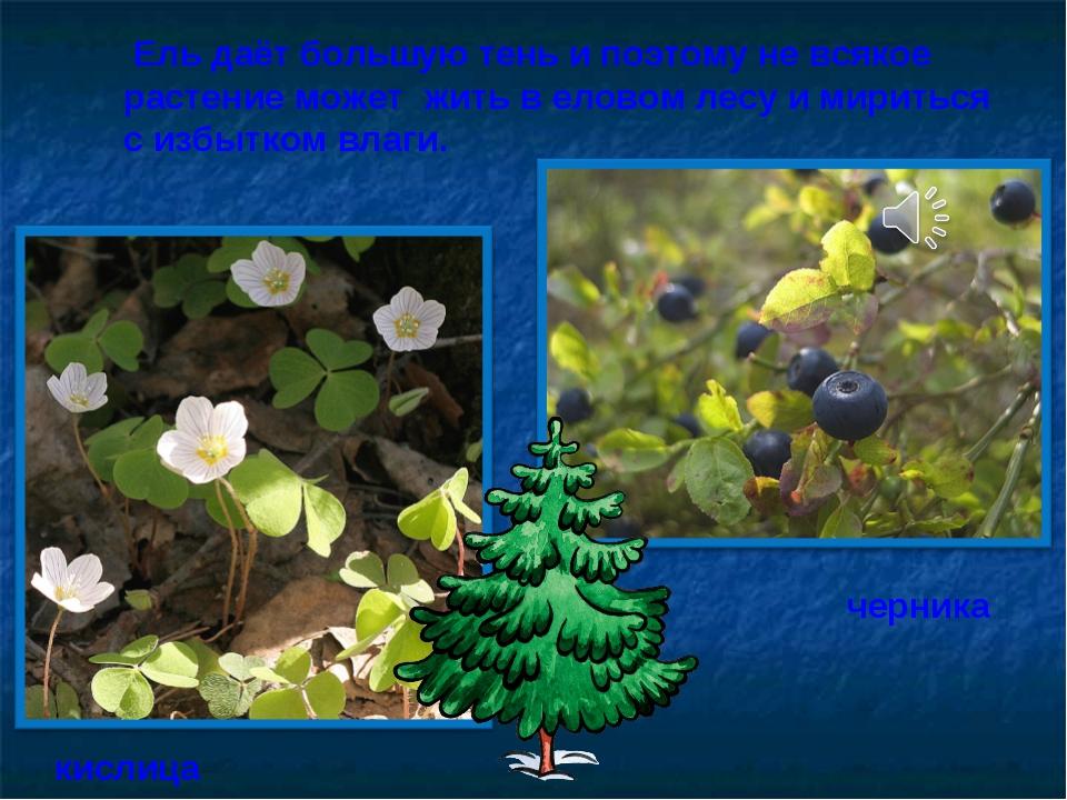 Ель даёт большую тень и поэтому не всякое растение может жить в еловом лесу...