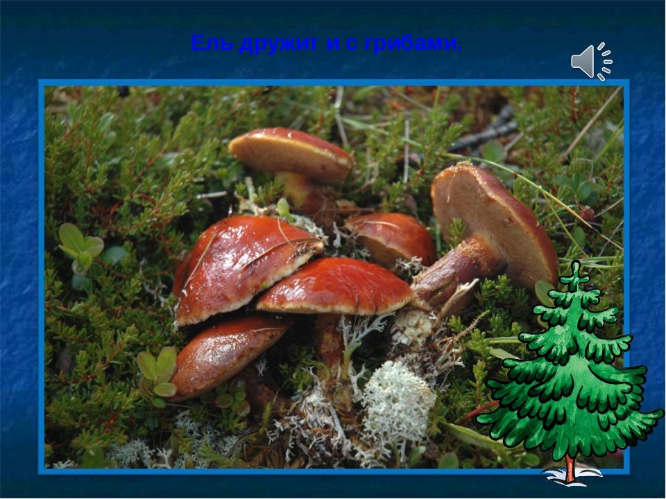 Ель дружит и с грибами.