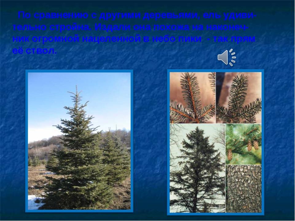 По сравнению с другими деревьями, ель удиви- тельно стройна. Издали она похо...