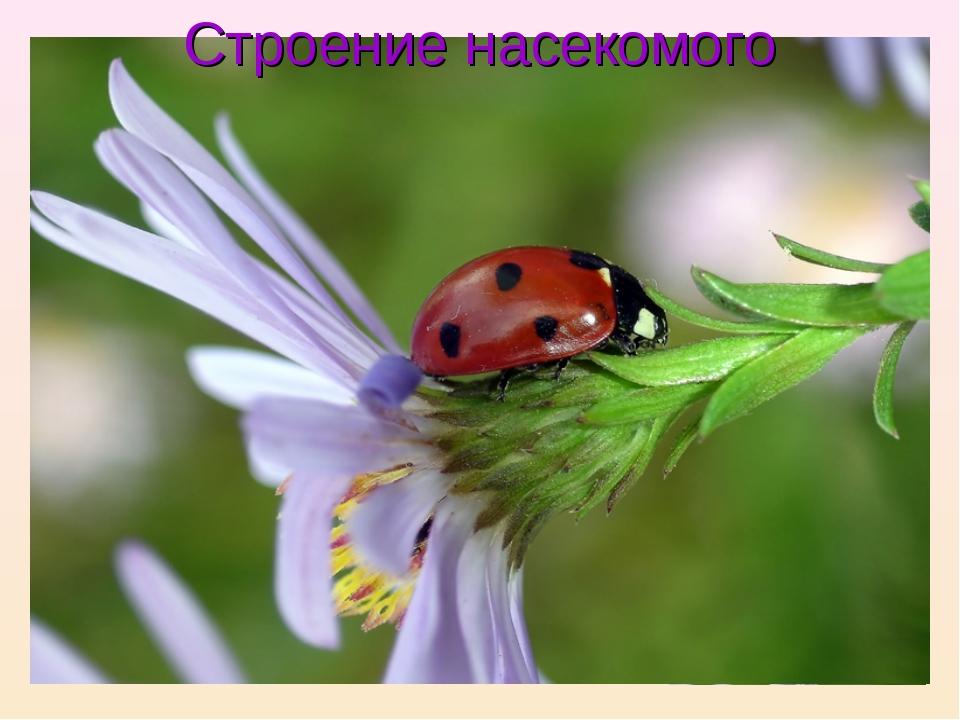 усики крылья голова хоботок грудь брюшко ноги Строение насекомого