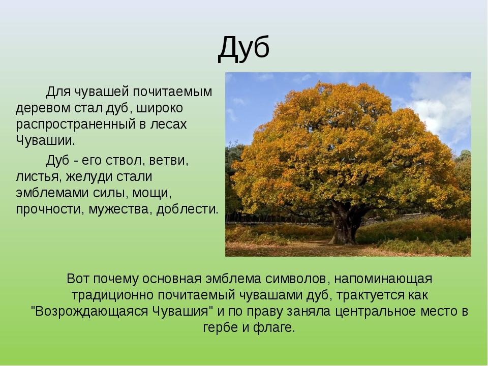 Дуб Для чувашей почитаемым деревом стал дуб, широко распространенный в леса...