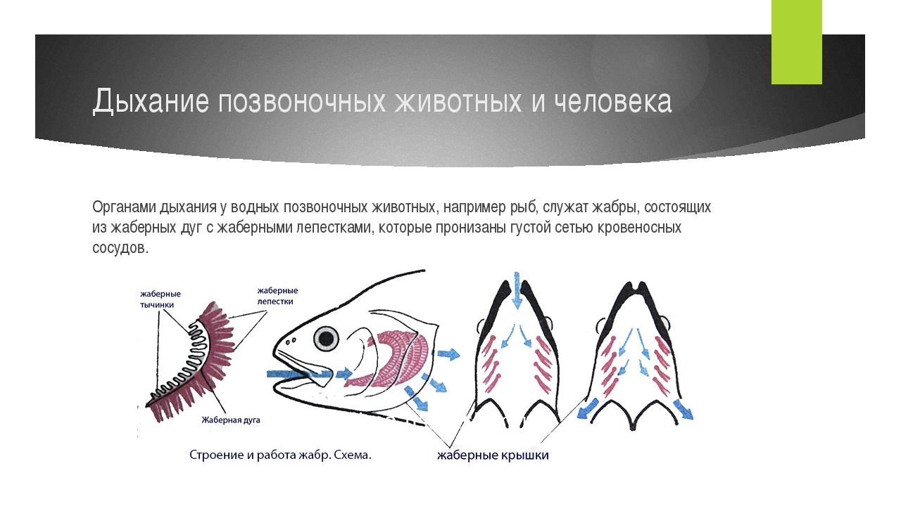 Дыхание позвоночных животных и человека Органами дыхания у водных позвоночных...