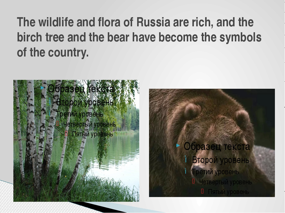 The wildlife and flora of Russia are rich, and the birch tree and the bear ha...