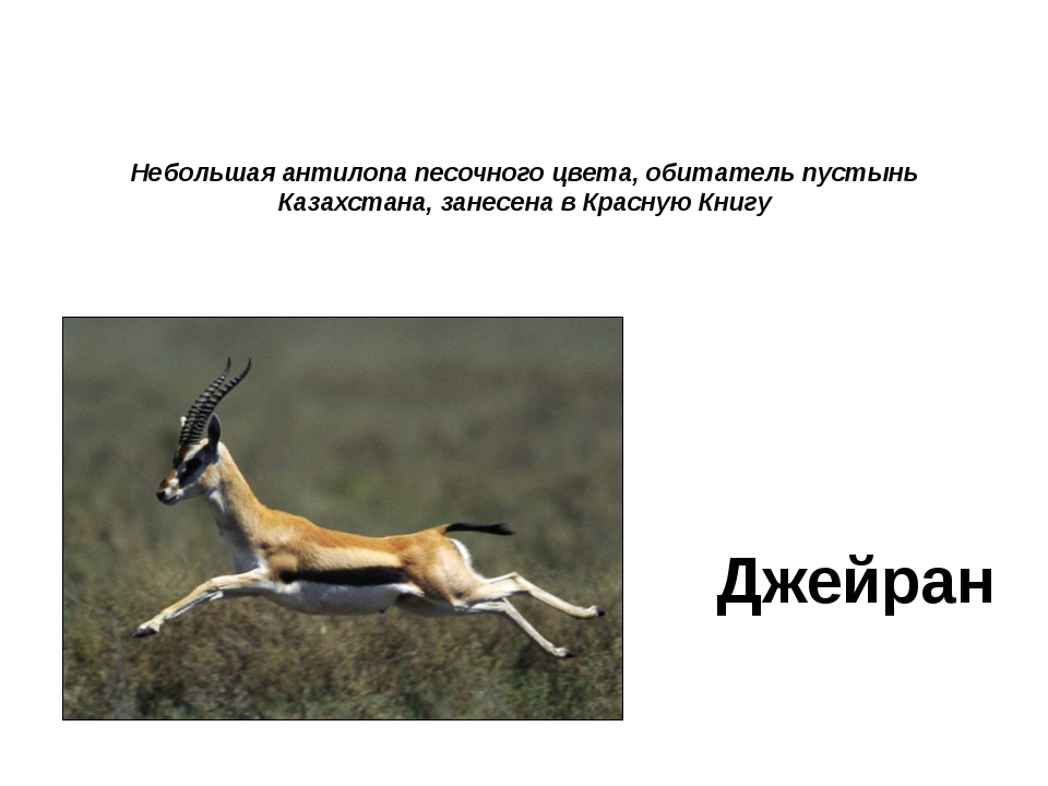 Небольшая антилопа песочного цвета, обитатель пустынь Казахстана, занесена в...