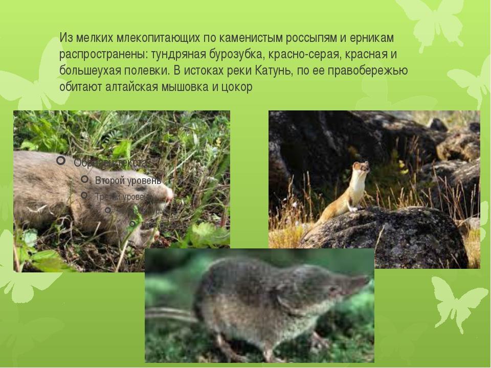 Из мелких млекопитающих по каменистым россыпям и ерникам распространены: тунд...